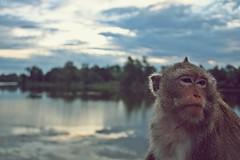 Good Morning Angkor (zevzevzevzev) Tags: face closeup temple cambodia southeastasia vishnu khmer buddhist angkorwat angkor common hindu complex primate macaque longtailedmacaque crabeatingmacaque macacafascicularis templecomplex khmerempire suryavarmanii theravana
