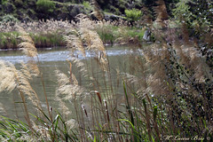 CaRiCiAs PaRa Mi AlMa... (Ninfa Nereida...) Tags: plumeros caricias viento río naturaleza agradecimientos diadelamadre toledo castillalamancha españa paisaje canon ninfanereida laurabris