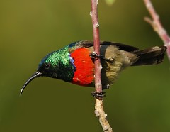 Greater double-collared sunbird (anacm.silva) Tags: africa wild bird nature birds southafrica nikon wildlife natureza aves ave sunbird frica vidaselvagem fricadosul greaterdoublecollaredsunbird cinnyrisafer anasilva southerndoublecollaredsunbird nikond40x