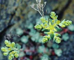 Sedum_spathulifolium_1_2 (Mark Egger) Tags: crassulaceae sedumspathulifolium