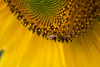 Bee on a sunflower (B.W.M) Tags: fbdg