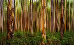 Deep Forest ! (bigvern1263) Tags: trees blur green forest australia ps perth wa ferns boranup