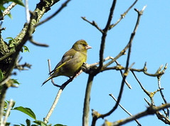 Greenfinch (Mr Grimesdale) Tags: finch greenfinch britishbirds stevewallace mrgrimesdale