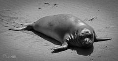 Seal Pup (Paemon) Tags: blackandwhite usa beach america day pentax seal sansimeon kr pup centralcoast westcoast paemon