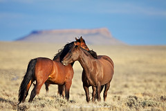 Wyoming Mustangs, Pilot Butte (Daryl L. Hunter - Hole Picture Photo Safaris) Tags: bravo desert free wyoming wildhorses stallion controversy openrange mustangs blm rocksprings pilotbutte freeroaming wyomingmustangsunitedstatesusa