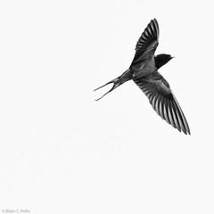 BCParks-20120525-_DSC5642 (briancparks) Tags: bw white black birds nikon swallows d90