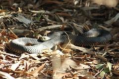 Red-Bellied Black Snake (JMillott) Tags: sun leaves reptile snake scales redbelliedblacksnake taxonomy:binomial=pseudechisporphyriacus