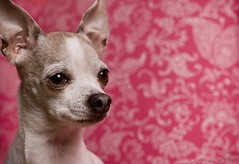 Chihuahua in front of pink background (nmariephoto) Tags: chihuahua dogs advertising girly feminine vibrant smalldog commercial strobes artificiallighting petphotography adcampaigns floralpattern pinkbackground seniordog tanandwhitedog sideprofiledog