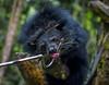 binturong II (gautsch.) Tags: bearcat binturong asianbearcat arctictisbinturong