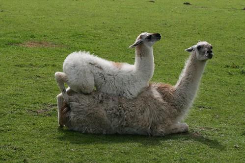Cute Baby Llama Baby llama lying on top of