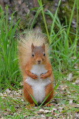 RED SQUIRRELS, WHINFELL FOREST, PENRITH, CUMBRIA, ENGLAND. (ZACERIN) Tags: red england forest squirrels center cumbria penrith parcs red whinfell center squirrels forest parcs whinfell whinfell penrith