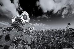 Sunflowers field in BW mode (fabio c. favaloro) Tags: bw roma field nikon pb bn sunflowers 2012 d300 torvaianica fcf fabiocfavaloro