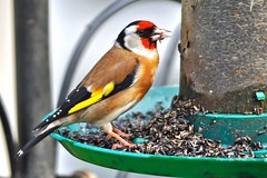 a goldfinch enjoying the nyger seed (GVG Imaging) Tags: goldfinch arley worcs d90 sigma80400mm nygerseed mygearandme mygearandmepremium mygearandmebronze mygearandmesilver mygearandmegold