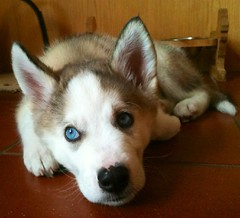baby blue eyes (dimps :D) Tags: blue dog baby cute puppy eyes husky sleepy babyblue koda