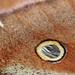 Moth wing eye