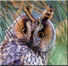 Long-eared Owl in the Netherlands [Explored] (Patrick Berden) Tags: netherlands longearedowl uil 2011 ransuil asiootus