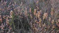 Blten-Knospen der mnnlichen Gagelstrucher (Myrica gale) bei leichtem Frost; NSG Alte Sorge-Schleife, Meggerdorf, Stapelholm (41) (Chironius) Tags: germany deutschland pantano peat swamp bottoms alemania marsh moor bog eis marais allemagne germania schleswigholstein sump frhling ogie sumpf pomie myricaceae niemcy tourbire fagales rosids   stapelholm turbera meggerdorf pomienie marcageuse buchenartige gagelstrauch szlezwigholsztyn fabids colsrakmoor gagelstrauchgewchse