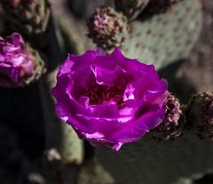 Cactus Flower (Stephen P. Johnson) Tags: cactus flower place nevada henderson 201404030015