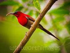 Crimson sunbird (whitworth images) Tags: travel nepal red wild tree male bird beautiful crimson animal garden outdoors amazing asia feather tiny shrub chitwan avian sunbird sauraha crimsonsunbird aethopygasiparaja