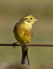 Yellowhammer (JOHN CRAWFORD2011) Tags: birds scotland farm wildlife scottish farmland finch buntings yellowhammer wildlifenature