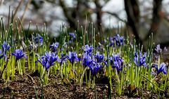 Blue Irises (cotarr) Tags: leica flowers blue iris cc geotag chicagobotanicgarden cameraraw temp1 woodlandwalk vlux3 cbgflowers topazdenoise topazdetail iphonemytracks