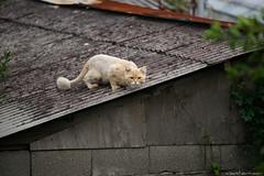Cat (iweatherman) Tags: cat jeju jejudo    seogwipo jejuisland