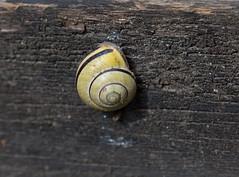 small snail (Stefan Giese) Tags: macro closeup canon snail gelb makro bodensee schnecke tier 6d snailshell gelbschwarz schneckenhaus 24105mm