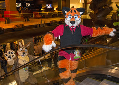 _DSC3551 (Acrufox) Tags: midwest furfest 2015 furry convention december hyatt regency ohare rosemont chicago illinois acrufox fursuit fursuiting mff2015