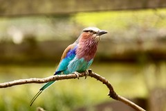Lilac breasted roller (dayho78) Tags: africa bird nature beautiful birds canon pretty breast wildlife naturephotography breasted lilacbreastedroller