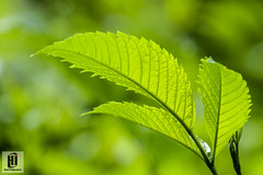 Green (0hasanul0) Tags: abstract texture nature leaves closeup photography leaf singapore outdoor fujifilm mystyle otherkeywords fujifilmx fujifilmxseries hasanulislam 0hasanul0 hasanulislamphotography
