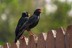 calling the buddies (Sky_PA (Catching up slowly- On/Off)) Tags: wood lebanon green bird nature colors beautiful birds closeup canon fence outdoors spring colorful bokeh outdoor pennsylvania starling pa animalplanet starlings amateurphotography sx50