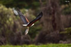 African Fish Eagle (V I J U) Tags: africa travel nature birds flying eagle kenya wildlife birding hunting flight safari ke nakuru fisheagle 2016 africanfisheagle lakenaivasha canon5dmarkiii karagita ef500mmf4lisii vijujose