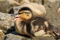 Duckling (K.Verhulst) Tags: birds duck vogels eend