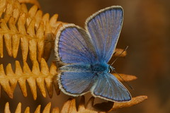 Polyommatus icarus (m) (JoseDelgar) Tags: polyommatusicarus josedelgar mariposa insecto commonblue contactgroups coth sunrays5 coth5 ngc npc autofocus thegalaxy