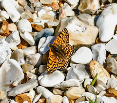 Glanville Fritillary (wightbern) Tags: nature butterfly nikon wildlife lepidoptera isleofwight glanvillefritillary sigma105mm wheelersbay d7000 nikonnaturephotography