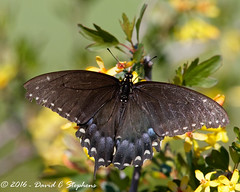 Female Black Swallowtail (dcstep) Tags: aurora colorado unitedstates us y6a4017dxo cherrycreekstatepark canon7dmkii ef500mmf4lisii ef14xtciii handheld allrightsreserved copyright2016davidcstephens dxoopticspro1054 female blackswallowtail currant currantflower