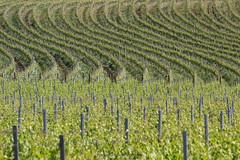 Enotessuto (Antonio Ciriello) Tags: italy verde green texture canon italia ngc vineyards cloth tamron puglia taranto 70300 apulia crispiano tessuto vigneti 600d amastuola 70300vc eos600d canoneos600d tamron70300vc rebelt3i 70300vcusd