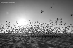 Rising Pigeons, Chennai, Marina Beach (Saravanan Ekambaram) Tags: stilllife nature birds marina landscape landscapes pigeons madras streetlife blacknwhite marinabeach chennai bnw southindia chennaimarina madrasmarina nikond750 risingpigeons