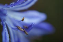 Blue drops (Wim van Bezouw) Tags: flower color nature outdoor softtones dcr250 raynox selectiveconceptualdof