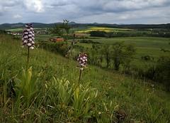 20160516-056F (m-klueber.de) Tags: flora orchidaceae orchidee rhn orchis 2016 purpur purpurea knabenkraut europische purpurknabenkraut rhnflora kuppenrhn nsttal vorderrhn orcpurp mitteleuropische mkbildkatalog 20160516 20160516056f