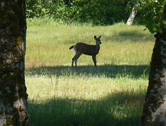 Doe, a deer, a female deer (Teddi Beres) Tags: life tree nature real wildlife meadow doe deer rl