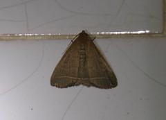 Liuzhou/ - Simplicia niphona 1393 (Petr Novk ()) Tags: china nature animal night insect asia wildlife moth  lepidoptera noctuidae herminiinae asie  guangxi liuzhou   hmyz     motl na simplicia  simplicianiphona
