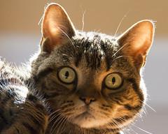 Wide Awake Now (uncle.dee9600) Tags: cat nikon americanshorthair tabby telephoto shorthair classictabby classicbrowntabby nikond7200