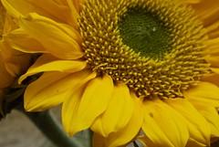 sunflower #2 (maria_logak) Tags: macro nikon sunflower macrolens