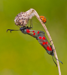 Six - spot Burnet Moth and Seven - spot Ladybird Zygaena filipendulae, Coccinella Septempunctata (Ivan Lynas Nature Photography) Tags: