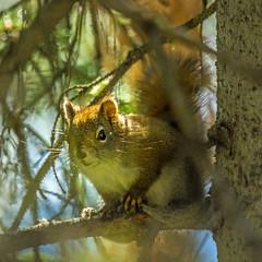 red squirrel - banff NP, canada (AB) 4 (Russell Scott Images) Tags: canada ab alberta banff rodents banffnationalpark pinesquirrel americanredsquirreltamiasciurushudsonicus