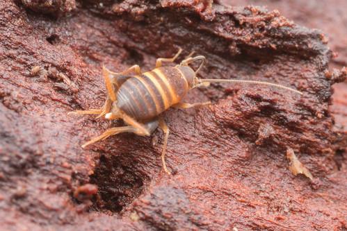 Orthoptera. Myrmecophilidae.