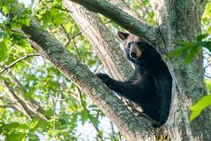 _DSC3699-2 (KewliePhotos) Tags: bear virginia nationalpark wildlife bears shenandoah shenandoahvalley blackbear blackbears shenandoahnationalpark