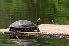 turtle snob (WMJ614) Tags: nature lumix turtle pennsylvania painted wildlife board amphibian panasonic perch eastern snob bask snobbish memoriallake fz1000