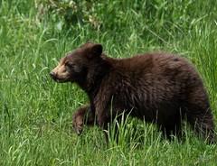 Cinnamon Bear Cub (T0nyJ0yce) Tags: bear wild baby cute animals mammal cub wildlife adorable coy blackbear bearpaw ursusamericanus americanblackbear cinnamonbear specanimal cuboftheyear canon7dmarkii tamron150600